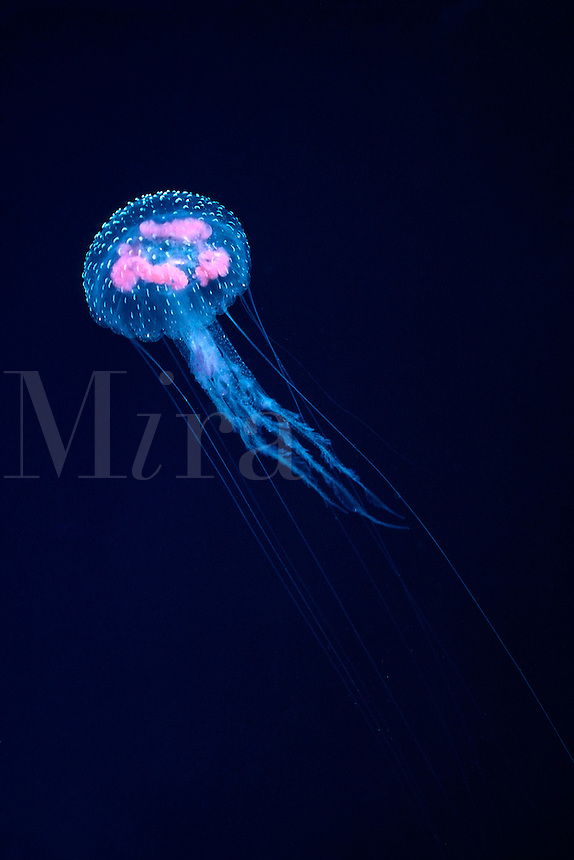 "At just over an inch across this jellyfish, Pelagia noctiluca, is not considered dangerous, although the spots on the bell are nematocyst loaded ""warts"". Hawaii.  transparent sting stinging ocean vertical tentacles sea pacific Luminescent"