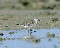 Great Knot - Calidris tenuirostris