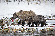 Grizzlies at Bear Cave Mountain in Ni'iinlii Njik (Fishing Branch)Territorial Park, North Yukon