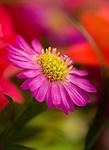 Mum Daisy<br /> Chrysanthemum<br /> April 12, 2008. © Fitzroy Barrett