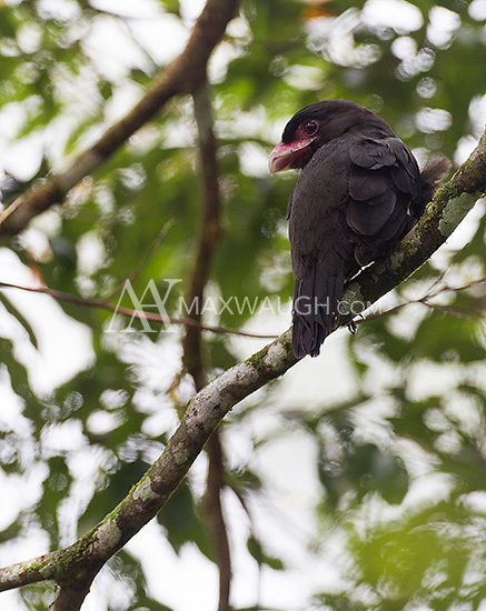 A dusky broadbill, photographed from the canopy walkway at the Borneo Rainforest Lodge.