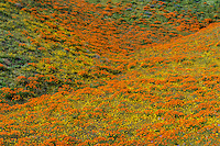 Wild California Poppies (Eschscholzia californica) and goldfields (yellow wildflowers) cover hillside.  California.  Spring.  Photo taken near the Antelope Valley California Poppy Reserve.