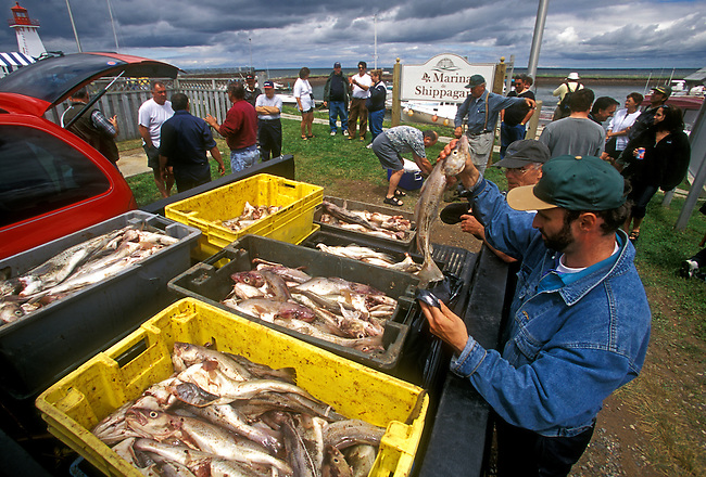 Fishermen with catch marina town of Shippagan New Brunswick Province Canada North America