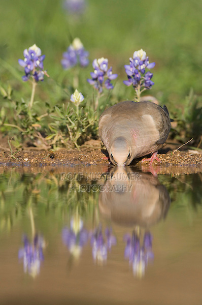 Mourning Dove, Zenaida macroura, adult drinking next to Texas Bluebonnet (Lupinus texensis) , Uvalde County, Hill Country, Texas, USA, April 2006
