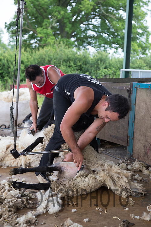 Sheep shearing<br /> Picture Tim Scrivener 07850 303986