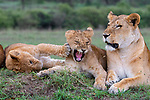 Rough play!  Lions getting slaps in the face.  Photos by YS Wildlife Photography