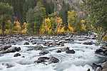 Tumwater Canyon in Wenatchee National Forest,  Wenatchee River, Washington Cascades.  Big leaf maple in fall color.