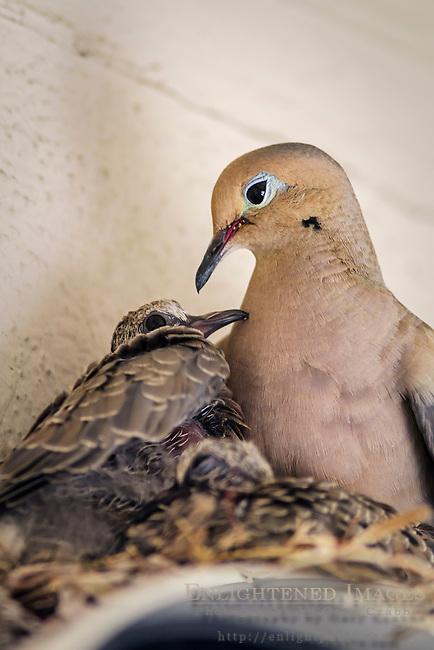 Mourning Doves (Zenaida macroura) Parent & Chicks