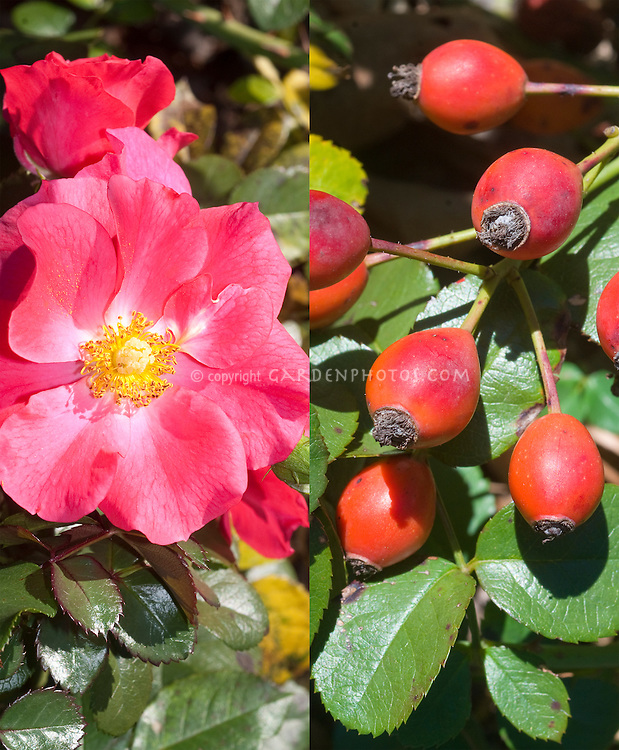 Rosa Wild Thing aka Jacoose rose in two different times seasons, in flower in summer and in rosehips fruits in fall autumn