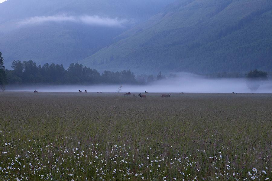 Elk in a foggy field at dawn near North Cascades National Park, Washington State, WA, USA