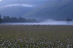 Elk in a foggy field at dawn near North Cascades National Park, Washington State, WA, USA