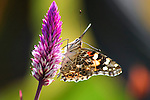Butterfly On Purple Flower, American Painted Lady, Vanessa virginiensis