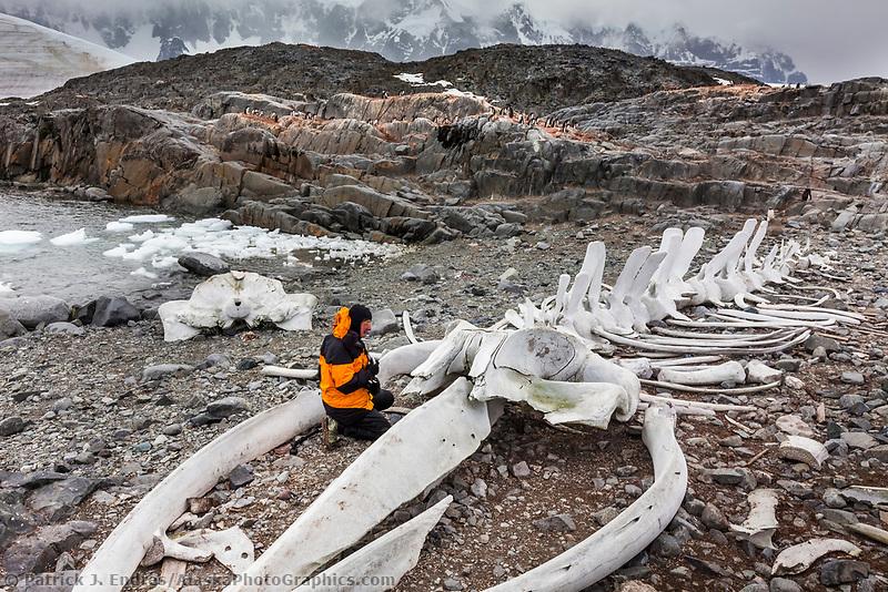 Man views rearticulated whale skeleton at Jugla Point, near Port Lockroy, western Antarctic Peninsula.