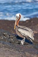 Brown pelican, James Bay, Stantiago Island, Galapagos Islands, Ecuador.