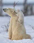 Polar bear cubs keep their mum busy by Hao Jiang