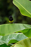 The Black-cowled Oriole, Icterus prosthemelus, ranges from southern Mexico to Panama.  This male oriole is perched on a banana leaf in Costa Rica.