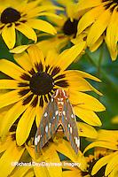 04001-00215 Regal Moth (Citheronia regalis) on Black-eyed Susan (Rudbeckia hirta) Marion Co.  IL