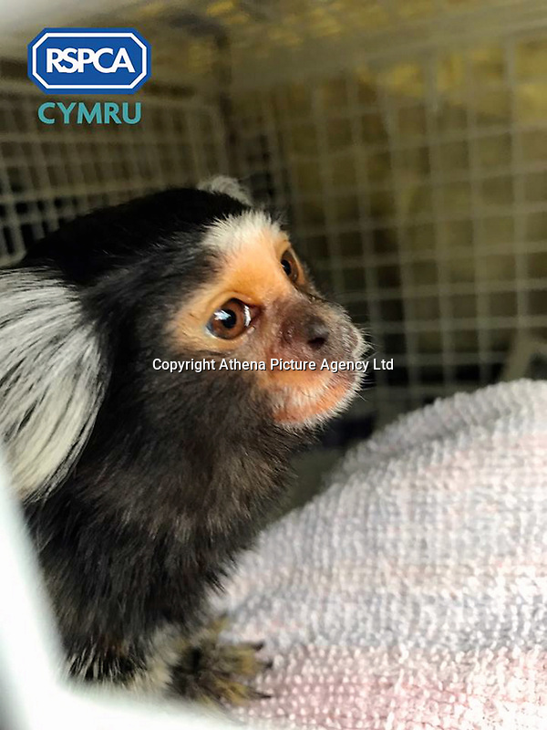 """Pictured: Lola, the marmoset monkey rescued by RSPCA Cymru after being advertised for sale on social media.<br /> Re: A monkey advertised for sale on social media has been rescued by RSPCA Cymru.<br /> A marmoset monkey has been rescued by RSPCA Cymru from a house in Blaenymaes, Swansea.<br /> The charity was alerted to the whereabouts of the monkey, named Lola, after an advertisement appeared on social media seeking to sell the animal.<br /> RSPCA Cymru arrived at the property to find the primate being kept in hugely inappropriate conditions.<br /> The monkey was loose in the living room, with a 3ft x 3ft x 3ft cage positioned in the corner with a UV light above it.<br /> The rescue took place on 21 April. It is understood the family had been keeping the monkey for approximately one year. Lola was living with a Staffie-type dog, who she would occasionally try to attack.  <br /> Following the rescue, Lola has now been moved to a specialist wildlife facility.<br /> RSPCA Cymru is campaigning for the keeping of primates as pets in Wales to be made illegal - and believes this incident is another example of why the practice should be brought to an end.<br /> Neill Manley, RSPCA Inspector, said, """"Sadly, some people like the idea of keeping a monkey as a pet, but this is another example of how unsuitable they are."""