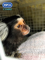 Pictured: Lola, the marmoset monkey rescued by RSPCA Cymru after being advertised for sale on social media.<br /> Re: A monkey advertised for sale on social media has been rescued by RSPCA Cymru.<br /> A marmoset monkey has been rescued by RSPCA Cymru from a house in Blaenymaes, Swansea.<br /> The charity was alerted to the whereabouts of the monkey, named Lola, after an advertisement appeared on social media seeking to sell the animal.<br /> RSPCA Cymru arrived at the property to find the primate being kept in hugely inappropriate conditions.<br /> The monkey was loose in the living room, with a 3ft x 3ft x 3ft cage positioned in the corner with a UV light above it.<br /> The rescue took place on 21 April. It is understood the family had been keeping the monkey for approximately one year. Lola was living with a Staffie-type dog, who she would occasionally try to attack.  <br /> Following the rescue, Lola has now been moved to a specialist wildlife facility.<br /> RSPCA Cymru is campaigning for the keeping of primates as pets in Wales to be made illegal - and believes this incident is another example of why the practice should be brought to an end.<br /> Neill Manley, RSPCA Inspector, said, &quot;Sadly, some people like the idea of keeping a monkey as a pet, but this is another example of how unsuitable they are.
