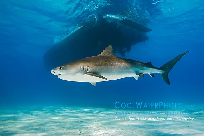 Tiger Shark, Galeocerdo cuvier, swimming under boat, West End, Grand Bahama, Atlantic Ocean