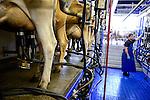 DEUTSCHLAND, , Versuchsgut Lindhof der UNI Kiel, Forschungsschwerpunkt ökologischer Landbau und extensive Landnutzungssysteme, Erforschung optimale Weidehaltung von Milchkuehen, z.Z. Jersey Kuehe, Melkstall