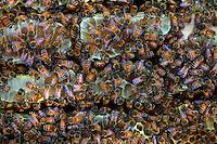 Trois rayons parallèles de miel recouverts d'abeilles. Les rayons parallèles de l'Apis Mellifera, l'abeille commune sont l'évolution principale de cette espèce par rapport à son ancêtre l'Apis Cerana. Les rayons parallèles ont permis des réserves importantes et sont un moyen unique de régulation thermique.///Three honey rayons covered in bees. The parallel honey combs of the Apis Mellifera, the common bee, are the main evolution of this species as compared to its ancestor l'Apis Cerana. The parallel honey combs allow for considerable reserves and are the only means for thermal regulation.