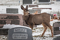 In a small town cemetary dusted with snow, a deer pauses among the headstones.