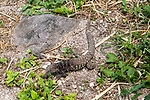 Lizard At Fort Louis