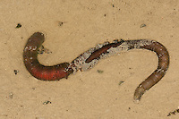 Wattwurm, Watt-Wurm, Pierwurm, Sandpier, Sandpierwurm, Köderwurm, auf Wattboden, im Watt, Arenicola marina, European lug worm, blow lug