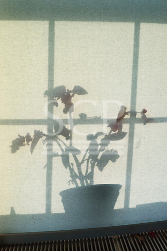 Plant in a pot silhouette on a blind with window panes. Suffolk, England