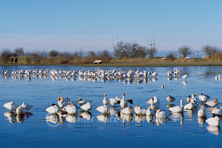 Snow Geese (Chen caerulescens) on Ice Covered Pond near Steveston, BC, British Columbia, Canada