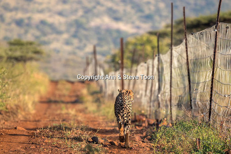Cheetah (Acinonyx jubatus) patrolling reserve fence, Zimanga private game reserve, KwaZulu-Natal, South Africa, May 2017