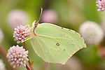 Brimstone Butterfly, Gonepteryx rhamni, UK, resting on flower
