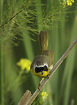 Common Yellowthroat Warbler with insect