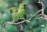 Maroon-fronted parrots, Mexico