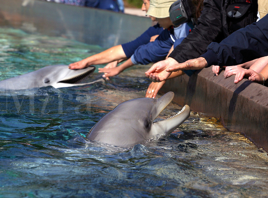Hands on look at a pair of bottlenose dolphin, Tursiops truncatus, at Sea World in San Deigo, California, USA.