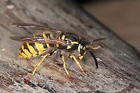 Gemeine Wespe, Gewöhnliche Wespe, Vespula vulgaris, Paravespula vulgaris, common wasp, yellowjacket