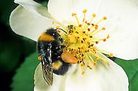 Dunkle Erdhummel, Dunkele Erdhummel, Bombus terrestris, Blütenbesuch, Nektarsuche, Bestäubung, buff-tailed bumble bee