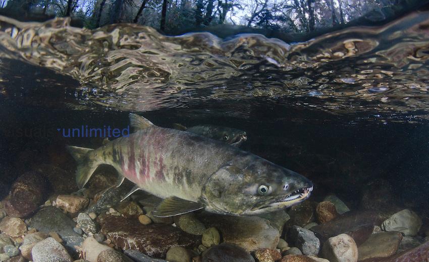 Chum Salmon (Oncorhynchus keta), Goldstream River, Vancouver Island, Canada.