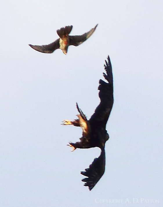 Golden eagle under attack by prairie falcon