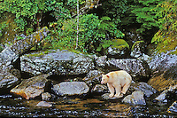 Ma1210  Kermode Black Bear or Spirit Bear looking for salmon along stream on Princess Royal Island,  Coastal British Columbia.  Sept.