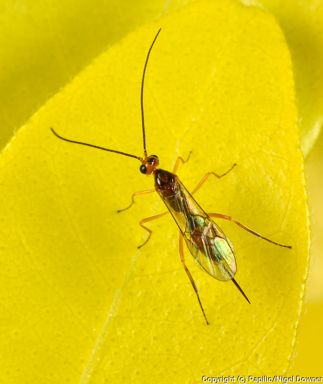 Close-up of an Ichneumon wasp (Orthocentrinae) resting on a yellow leaf in a Norfolk garden in summer