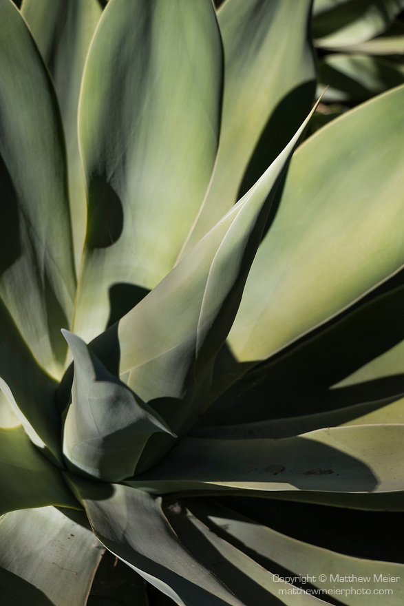 Valley Center, San Diego, California; an agave plant throwing shadows in afternoon sunlight