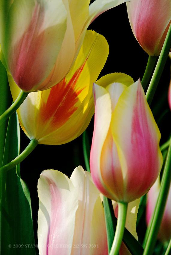Tulip Discussion