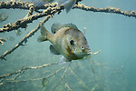 Bluegill (Lepomis macrochirus) scuba diving underwater photography MN