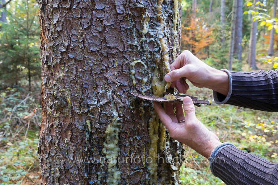 Fichtenharz, Fichten-Harz, Baumharz, Harz, Harzernte, Harz sammeln, liquid pitch, tree gum, galipot, gallipot. Gewöhnliche Fichte, Rot-Fichte, Rotfichte, Picea abies, Common Spruce, Norway spruce, L'Épicéa, Épicéa commun