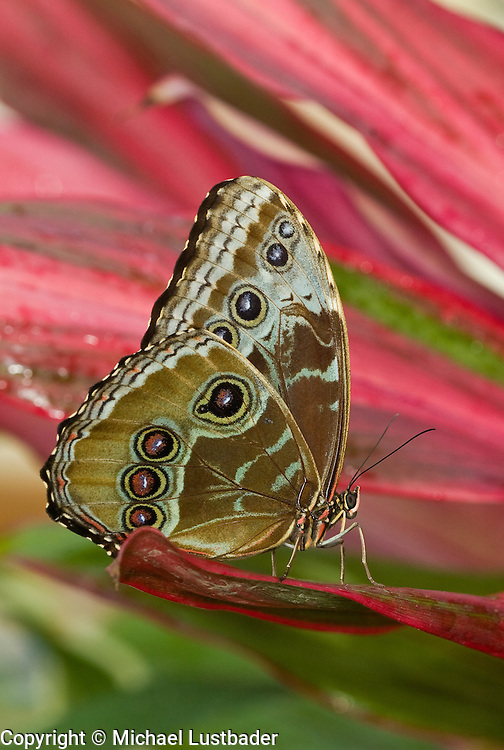 Blue Morpho (Morpho peleides). Native of Central and South America