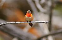 Hummingbird - Rufous