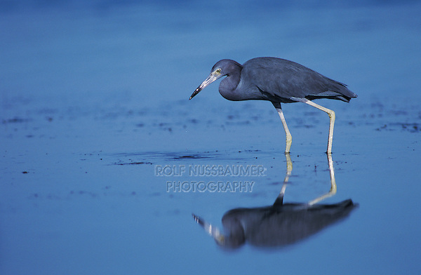 Little Blue Heron, Egretta caerulea,adult, Port Aransas, Texas, USA, March 2003