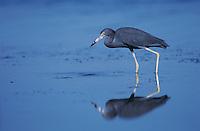 Little Blue Heron, Egretta caerulea,adult, Port Aransas, Texas, USA, March 2003